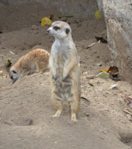 Meerkat at the San Diego Zoo Safari Park