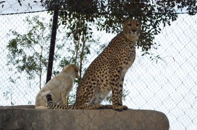 Cheetah and Dog San Diego Zoo
