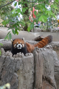 Red Panda at the San Diego Zoo